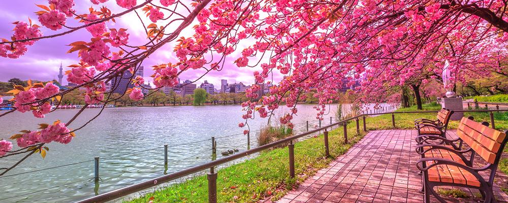 la floraison des cerisiers au japon blog de bourse des vols. Black Bedroom Furniture Sets. Home Design Ideas